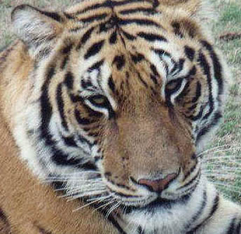 Indo_Chinese_Tiger.j
